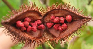 The annato seed pods make an Achiote paste for stewed green beans.
